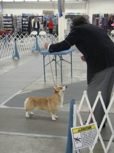 Misty Ridges Wendtworth Honey Lark~Wendt Worth Corgis