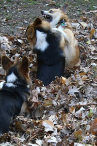 Wendt Worth Corgis Ruff Housing in Leaves
