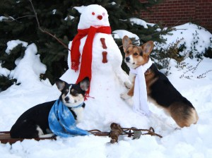 Wendt Worth Corgis enjoying the Season