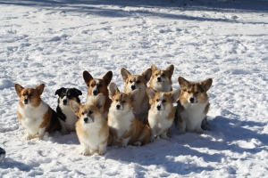 Wendt Worth Corgis Low Riders